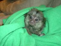 babymarmosetmonkeysforadoption1-2932.jpg